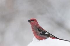 Pine Grosbeak (csirnak) Tags: winter red snow canada cold bird ice pine bc sony 300mm 28 grosbeak