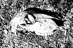 Animal Skull II (themissionaryphoto) Tags: chile white black eye abandoned beach monochrome animal island skull teeth farming sigma playa mocha 1750 huesos hueso livestock isla deserted f28 socket dientes t3i crneo