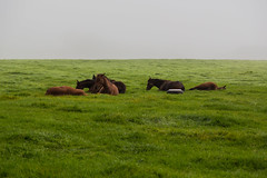Day 120-365 Horses (giuliomeinardi) Tags: ireland horses green nature animal project in