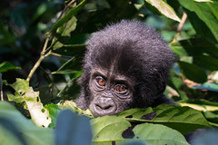 Baby gorilla (Tanya R.) Tags: animals uganda babygorilla mountaingorillas westernregion bwindiimpenetrablenationalpark bwindiforest bufumbira nkuringogorillagroup