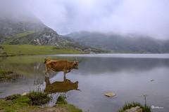 _VMG6311 (V.Maza) Tags: asturias rubia vaca vacas asturies covadonga lagoenol lagoercina
