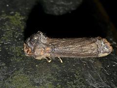 Unidentified Moth (Notodontidae ?) (berniedup) Tags: moth sarawak malaysia borneo notodontidae permai santubong taxonomy:family=notodontidae