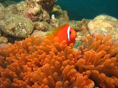 clown fish variety 1 (explore) (DOLCEVITALUX) Tags: sea fish coral underwater philippines clownfish anemone batangas