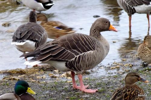 Greylag Geese - WWT Slimbridge