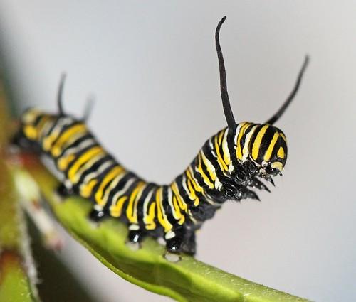 update on Monarch caterpillars - yesterday
