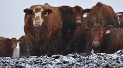 Bah Humbug (Plummerhill) Tags: snow cattle