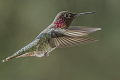 Anna's Hummingbird (Bob Gunderson) Tags: sanfrancisco california birds northerncalifornia hummingbirds missiondistrict birdwatcher annashummingbird calypteanna canoneos7dmarkii