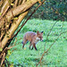 Red Fox, Cotswolds, Gloucestershire