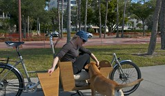 Katie gets ready to jump through the custom METROFIETS cargo bike dog door (METROFIETS) Tags: beach bike bicycle florida bikes sarasota beachbike cargobike beachcruiser enjoytheride bikelife metrofiets keepriding bikesrq palmtreesandbikes