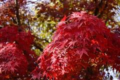 岡山城 おかやまじょう (ddsnet) Tags: 岡山城 おかやまじょう 岡山県 おかやまけん 岡山市 おかやまし 日本 日本国 にほんこく japan nippon nihon 旅行 travel 自助旅行 backpackers sony cybershot rx10 紅葉 autumnal 植物 plant autumnleaves 秋葉 こうよう もみじ