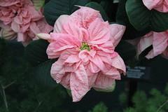 Beautiful Flower (Zach Frieben) Tags: flower garfieldconservatory chicagoil 2014 canon1855mmlens flowerwatcher canoneosrebelt3i