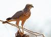 Eastern Chanting Goshawk juvenile (Rainbirder) Tags: kenya samburu melieraxpoliopterus easternchantinggoshawk easternpalechantinggoshawk rainbirder