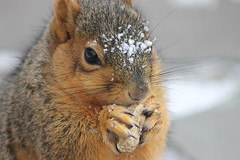 Squirrels in the Snow on a Very Cold Day at the University of Michigan (January 8, 2015) (cseeman) Tags: winter snow cold animal campus squirrels eating michigan annarbor peanut snowing universityofmichigan umsquirrels01082015 januaryumsquirrel