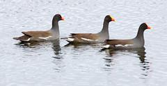 _AAB3672.jpg (Lake Worth) Tags: bird nature birds animal animals canon wings florida wildlife feathers wetlands everglades waterbirds southflorida 2xextender sigma120300f28dgoshsmsports