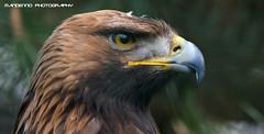 Golden eagle - Olmense Zoo (Mandenno photography) Tags: bird animal animals golden eagle prey dieren goldeneagle steen dierentuin dierenpark arend olmen olmensezoo olmense steenarend