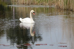 Tuinen van West (pdp.osdorp) Tags: water amsterdam zwaan natuurgebied