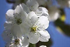 """""""La floraison des cerisiers ne durent pas.L essentiel on l attrape en 1 seconde.Le reste est inutile""""C.Bobin (~loloflu~) Tags: nature canon autofocus cherryflowers flickrunitedaward canonflickraward"""