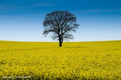 The Tree (Holfo) Tags: tree rapeseed yellow single silhouette blue sky countryside nikon d5300 flowers landscape trees outdoor field nature shropshire england spring farm farmland outline lonetree one tranquil uk artistic summertime salop vista summer bright rural lone vivid art plant form crop horizon skyline straight springtime crops alone individual country stunning standalone arty britain greatbritain branches outlined gb natural vibrant brightness silhouetted distinct bella cloudless pure uno bueno singular black level stark lonely fave favourite arranged view viewed