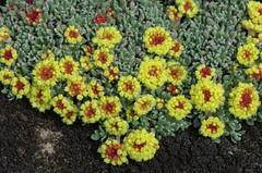 Nevada Succulent DDZ_3860 (NDomer73) Tags: plant flower april sheldon 2016 sheldonnationalwildliferefuge sheldonnwr 29april2016