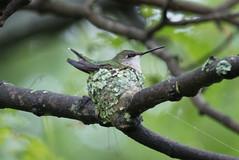 Ruby-throated Hummingbird (maractwin) Tags: cambridge birds us unitedstates massachusetts watertown rubythroatedhummingbird mtauburncemetery