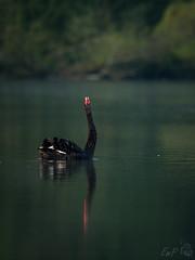 Black Swan Displaying (Emmog) Tags: morning mist lake nature birds animals early spring wildlife blackswan