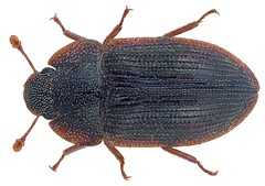Colobicus gigas Grouvelle, 1908 (urjsa) Tags: insect beetle vietnam insekt kfer coleoptera kaefer gigas colydiidae taxonomy:order=coleoptera zopheridae geo:country=vietnam colobicus coleopteraus taxonomy:family=colydiidae taxonomy:species=gigas taxonomy:family=zopheridae colobicusgigas taxonomy:binomial=colobicusgigas taxonomy:genus=colobicus