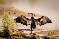 Plumage (malc1702) Tags: cormorant birds wingspread largebirds migratorybirds nature grace beauty outdoor nikond7100 tamron150600 wildlife animals sunlight water ngc