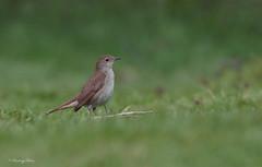 Nightingale, Luscinia megarhynchos. (PANDOOZY PHOTOS) Tags: uk bird nature birds spring song wildlife ground thrush songbird nightingale lusciniamegarhynchos passeriformes turdidae