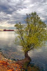 Flowering willow tree (Thankful!) Tags: morning reflection tree beach ship willow lakeontario mississauga