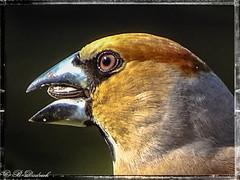 Er macht seinem Namen alle Ehre (Fotoamsel) Tags: deutschland tiere natur vgel goslar niedersachsen imgarten tiereimgarten kernbeiser