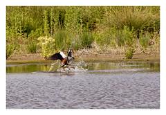_41A5740 copy (Creeping Mac Kroki) Tags: bird nature birds landscape cow duck vogels ducks fox polder meeuw eend kievit reiger vogel koe witte vos eenden bazel lepelaar waterhoen nijlgans scholekster kwikstaart bergeend kluut visdief aalschover kruibe