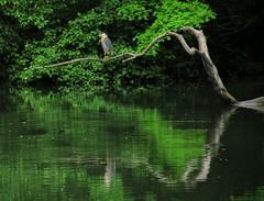 Black-crowned Night Heron #4 (Keith Michael NYC (2 Million+ Views)) Tags: nyc newyorkcity ny newyork centralpark manhattan blackcrownednightheron