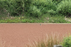 IMG_0694 East Pond - Hawks Prairie LOTT facility (Jon. D. Anderson) Tags: pond mallard waterfern azollamexicana hawksprairiesettlingponds