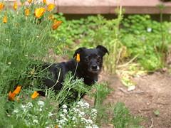 Garden (Kazooze) Tags: flowers plants dog flower macro love nature animal garden outdoor poppies pup alyssum sigma105mmmacrolens