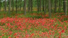 Papaveri in fiore (BORGHY52) Tags: italy primavera piemonte campo paesaggi paesaggio maggio papaveri carignano sottobosco beautifullandscapes piemone camapagna paesaggiitaliani provinciatorino landscaepe paesaggioagreste rossopapavero carignanoto