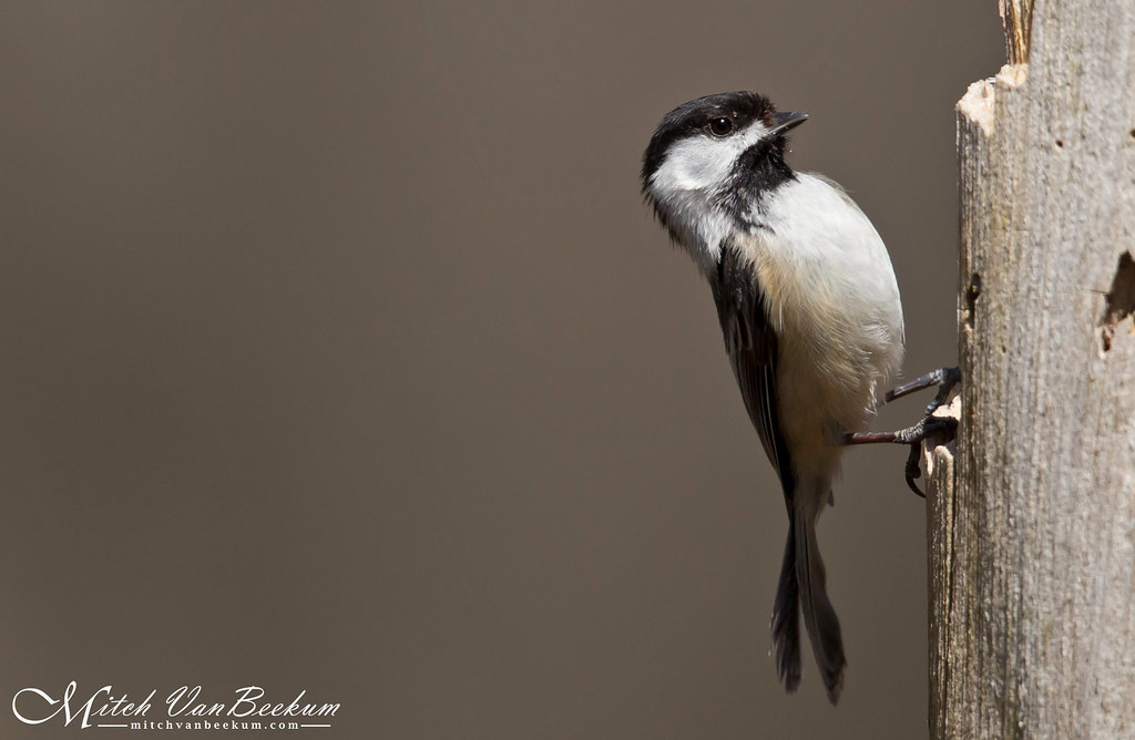 Hang In There! (Black-Capped Chickadee)