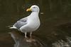 A waiting game (Shane Jones) Tags: bird river nikon gull aeron seabird d500 herringgull tc14eii 200400vr