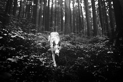 Miss Wolfie (Alicja Zmysowska) Tags: dog dogs wolf wolves forest dark pet pets border collie slate merle