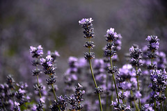 Lavender  (MelindaChan ^..^) Tags: china plant flower field purple lavender mel  melinda ili xingjiang       chanmlemel melindachan