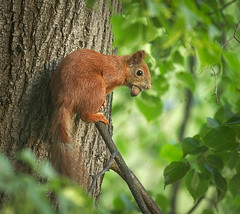 Junior on the branch (hedera.baltica) Tags: squirrel redsquirrel wiewirka sciurusvulgaris eurasianredsquirrel wiewirkapospolita