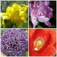 May flower collage - HTT! (karma (Karen)) Tags: flowers collages maryland baltimore macros picmonkey
