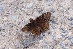 Erynnis horatius (Horace's duskywing) or Erynnis baptisiae (wild indigo duskywing), female (tgpotterfield) Tags: usa insects lepidoptera westvirginia hesperiidae horacesduskywing erynnishoratius greenbrierrivertrail spreadwingskippers wildindigoduskywing erynnisbaptisiae pyrginae erynnis greenbriercountywv