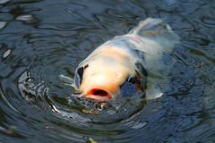 Not so coy, Koi Fish (KaseyEriksen) Tags: fish nature water closeup koi ripples
