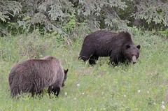 #_# (Tab Tannery) Tags: bear grizzly ursus grizz ursusarctos grizzlybear