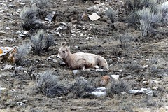 A Young Bighorn Sheep in the National Elk Refuge (thor_mark ) Tags: nature unitedstates jackson wyoming day3 hillside sagebrush bighornsheep project365 nationalelkrefuge colorefexpro lookingnw wyomingcountryside nikond800e millersbutte capturenx2edited sigma150500mmf563afapodgoshsmtelephotozoomlensfor sigma150500mmf563afapodgoshsmtelephotozoomlensfornikon hobackrange