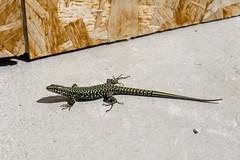 Milos Mauereidechse (Nymand Geringerer) Tags: wall lizard piran milos portoroz eidechse mauereidechse