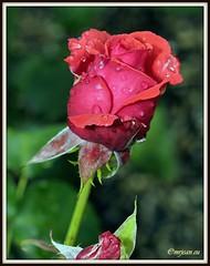 _JVA6884 (mrjean.eu) Tags: park pink flowers blue roses white france flower macro fleur rose yellow fleurs garden nikon jardin botanic lorraine botanique parc metz 105mmf28