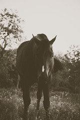 DSC_0207 (hcazrellim) Tags: blackandwhite horse beautiful bay maine elvis pony horsefarm zachmillerphotography