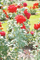 11058755_10153099669317076_6034892362549767048_o (jmac33208) Tags: park new york roses rose garden central schenectady