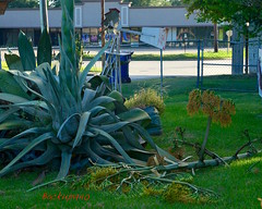 Century Plant Problems! (backup1940) Tags: sony centuryplant katytexas